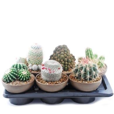 Mix cactus 17 cm Multicolore