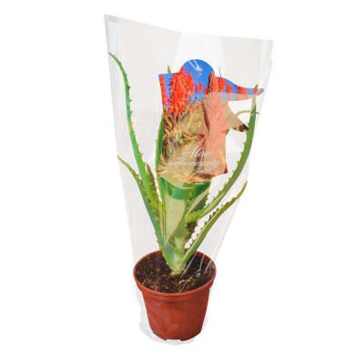 Aloe arborescens 20 cm Multicolore