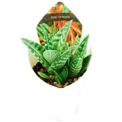 Aloe variegata 6.5 cm Multicolore
