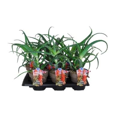 Aloe Arborescens 16 cm Multicolore