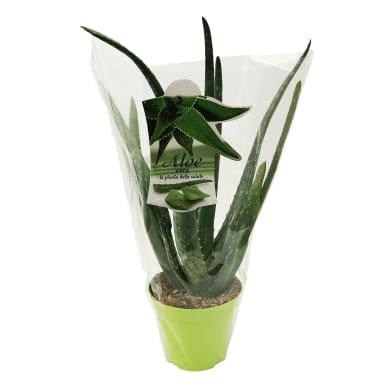 Aloe Vera 14 cm Multicolore