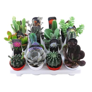 Mix piante succulente 6.5 cm Multicolore
