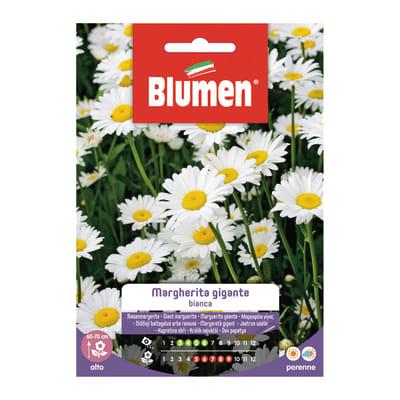 Semi da fiore Margherita gigante bianca